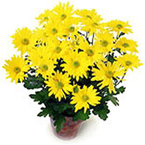 Morristown Florist | Yellow Mum